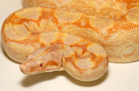Dream Sharp Albino Boa