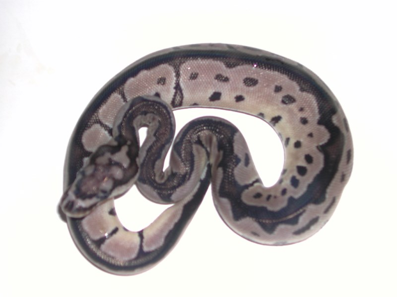 VPI Axanthic Clown Ball Python