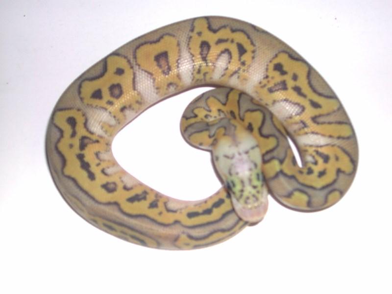 Hypo Pastel Clown Ball Python