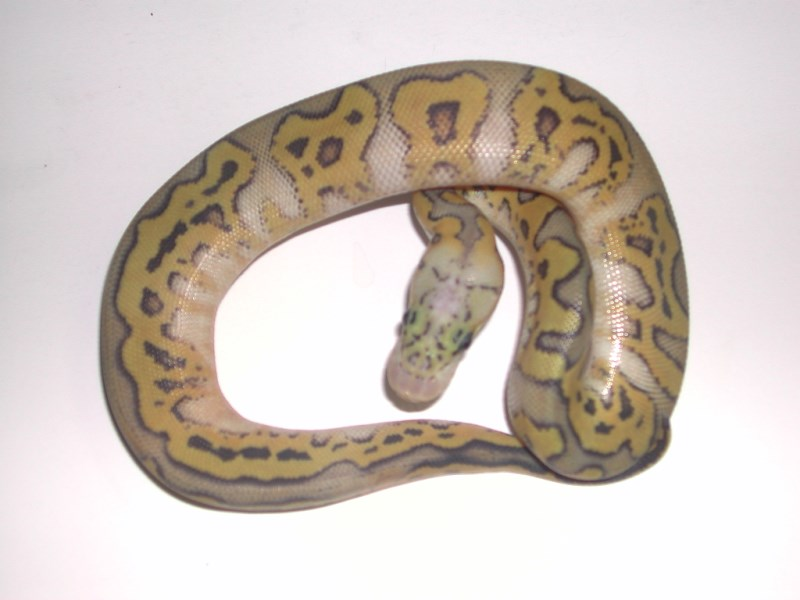 Hypo Pastel Clown Ball Python