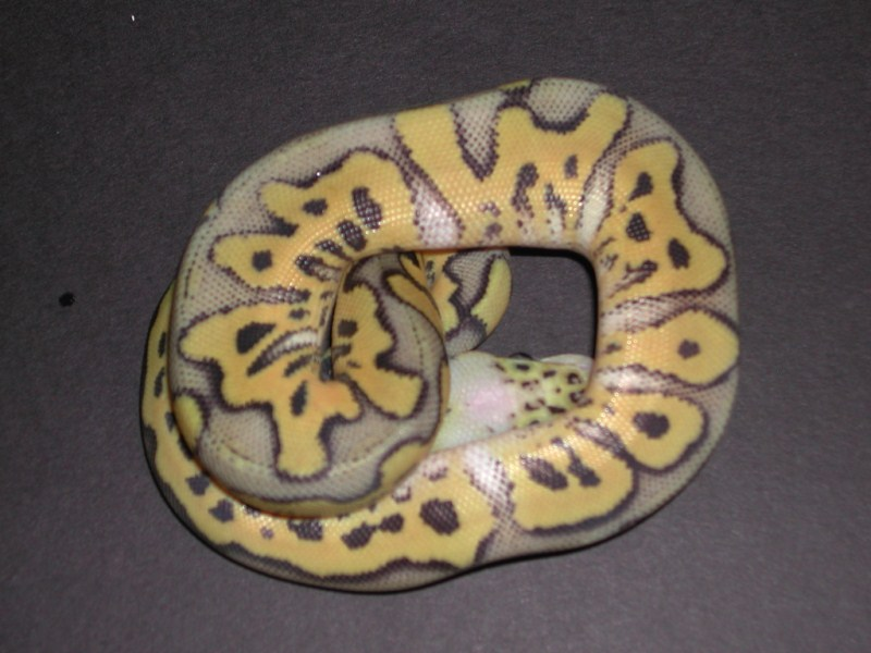 killer clown ball python