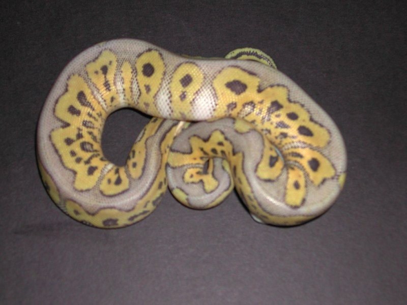 Killer Clown Ball Python