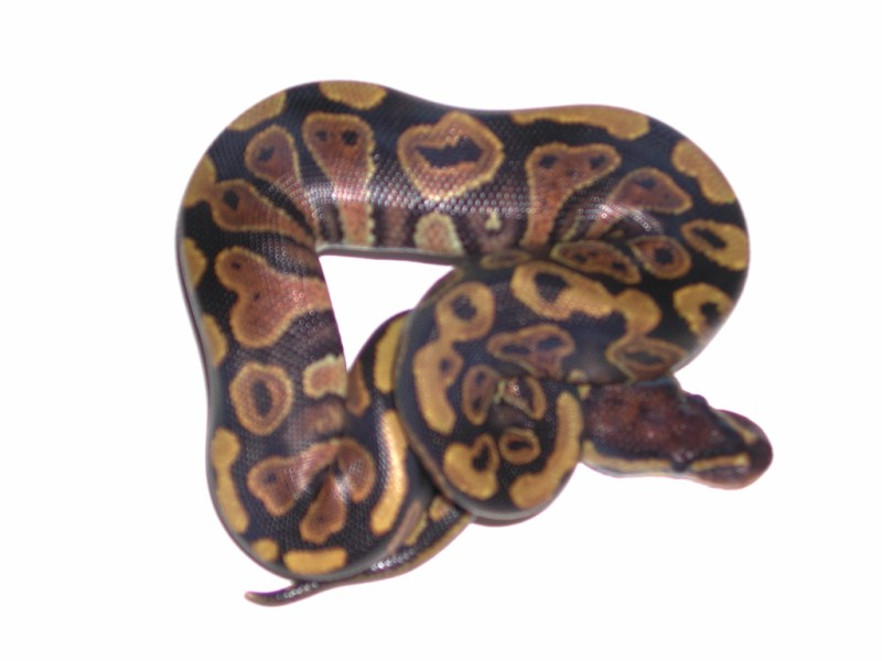 how to tell a yellow belly ball python