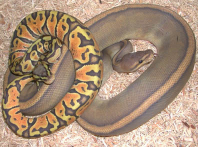 HYpo Genetic Stripe Ball Python