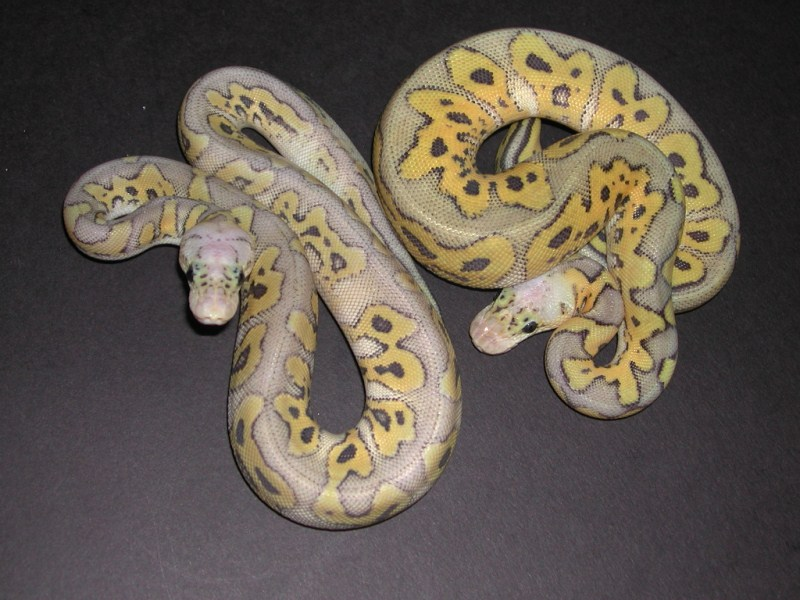 Hypo Killer Clown Ball Python