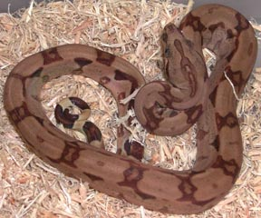 Hypo Arabesque Boa