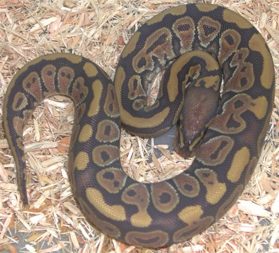 Hypo Yellow Belly Ball Python