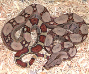 Jungle Square-tail Boa