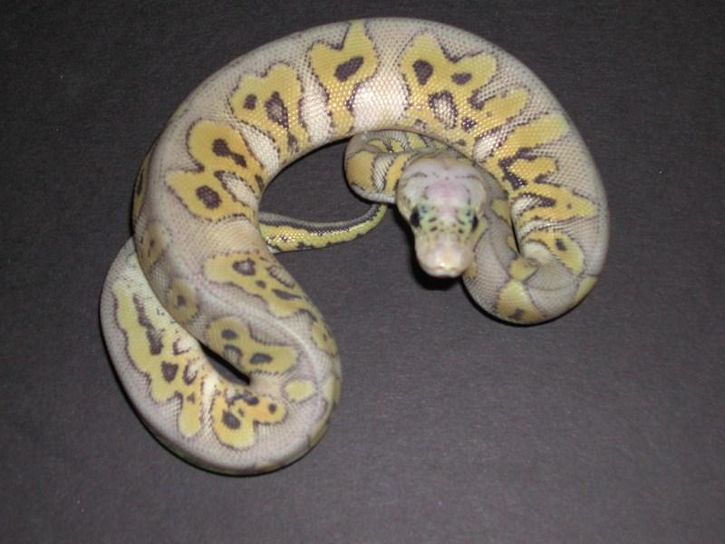Hypo Kiler Clown Ball Python