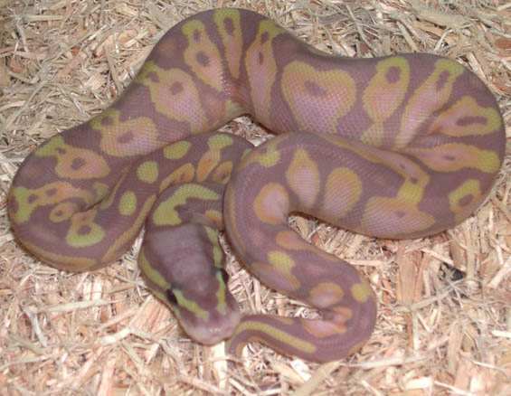 Pastel Jungle Banana Ball Python
