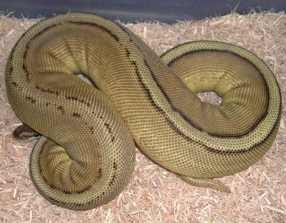 Pastel Jungle Genetic Stripe Ball Python