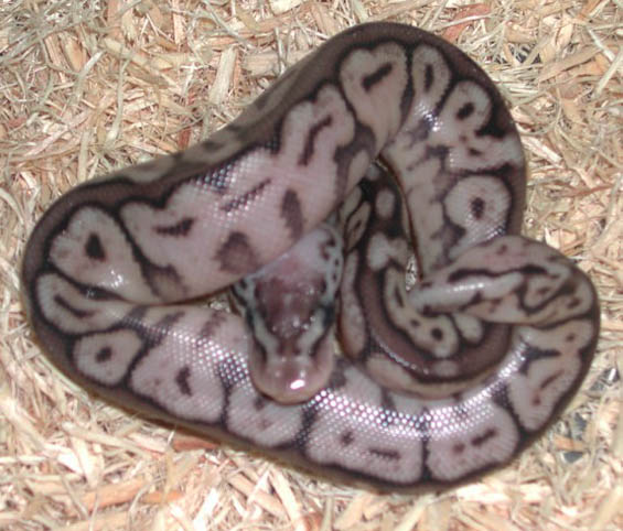 Pewter Bee Ball Python