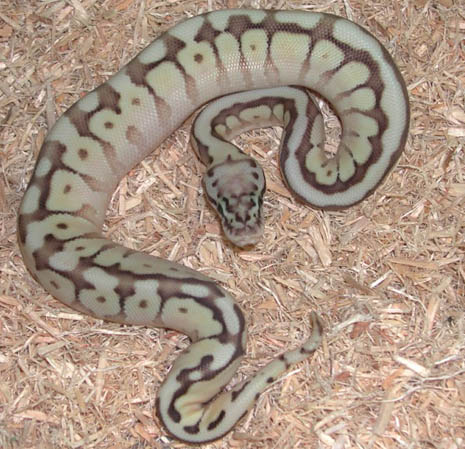 Queen Bee Ball Python